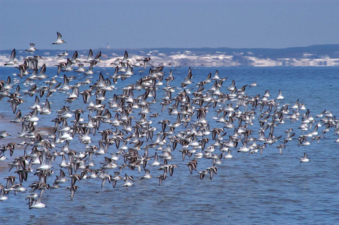 A flock of disturbed sanderling birds flying from...Beach. Provincetown, Massachusetts