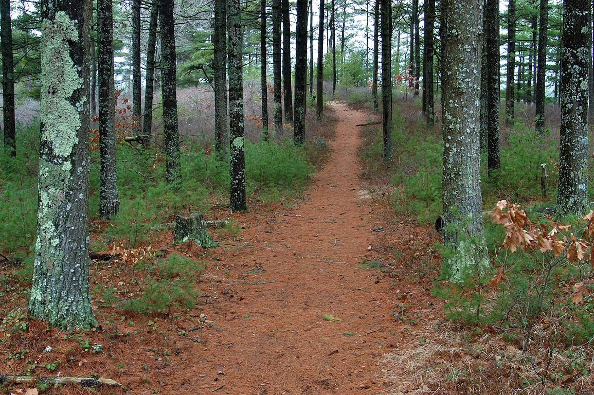 A trail and pines on east side of East Head...wet day. South Carver, Massachusetts