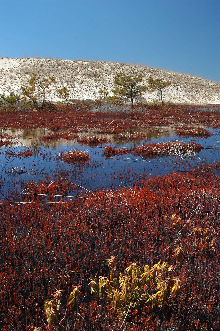 Cranberry bog near Snail Trail in Cape Cod. Provincetown, Massachusetts