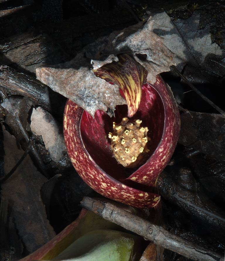 Skunk cabbage flower in Dighton Rock Park. Massachusetts