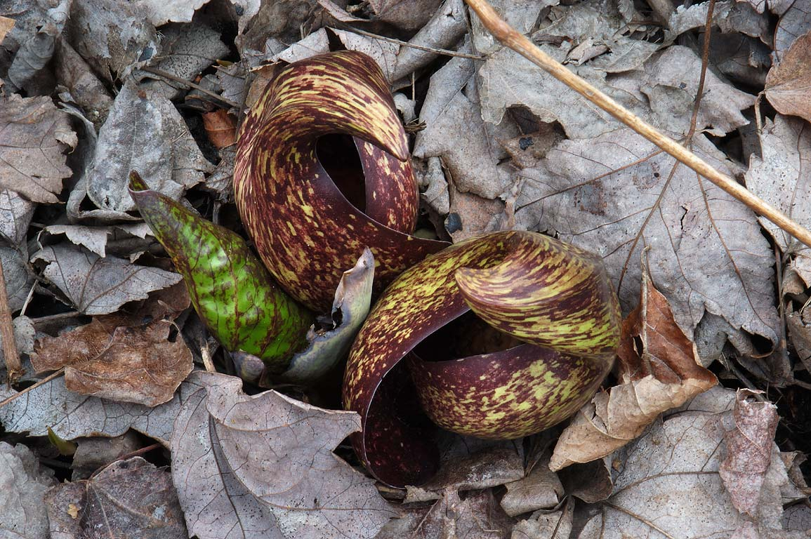 Skunk cabbage in bloom in Dighton Rock Park. Massachusetts