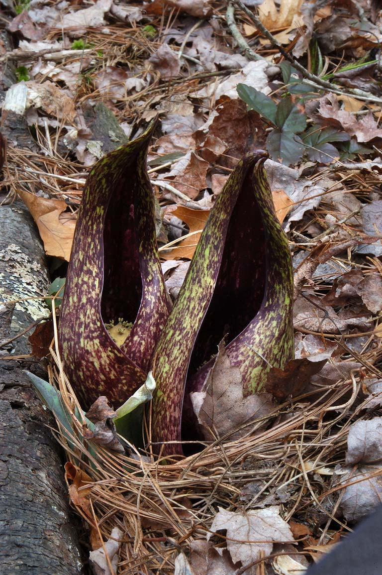 Hooded flowers of skunk cabbage in Massasoit State Park. Massachusetts