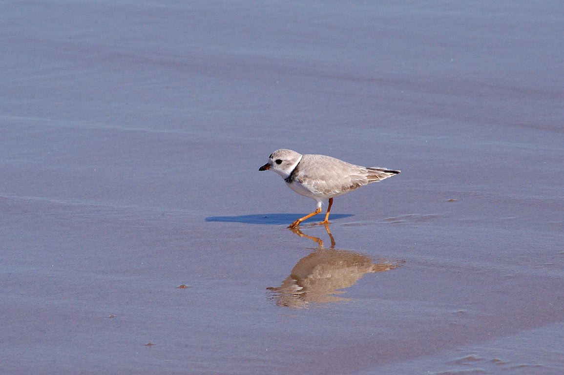 Piping plover on Crescent Beach in Block Island. New Shoreham, Rhode Island
