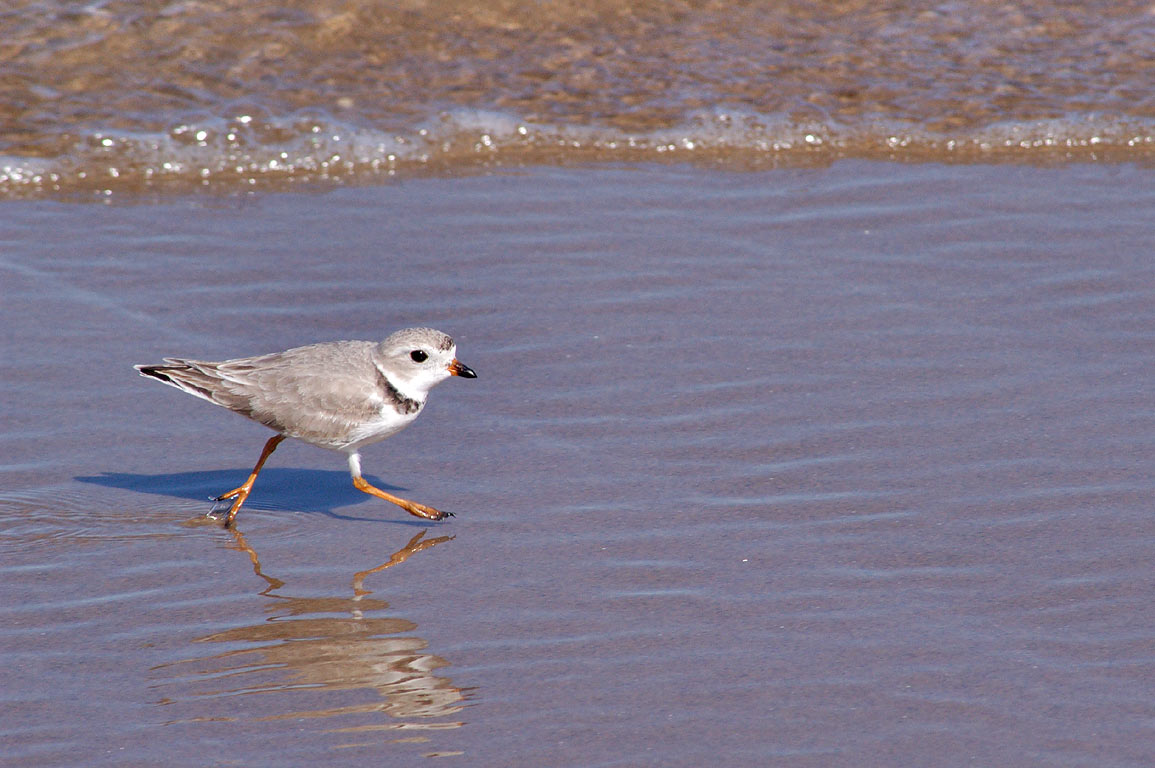 Running piping plover on Crescent Beach in Block Island. New Shoreham, Rhode Island