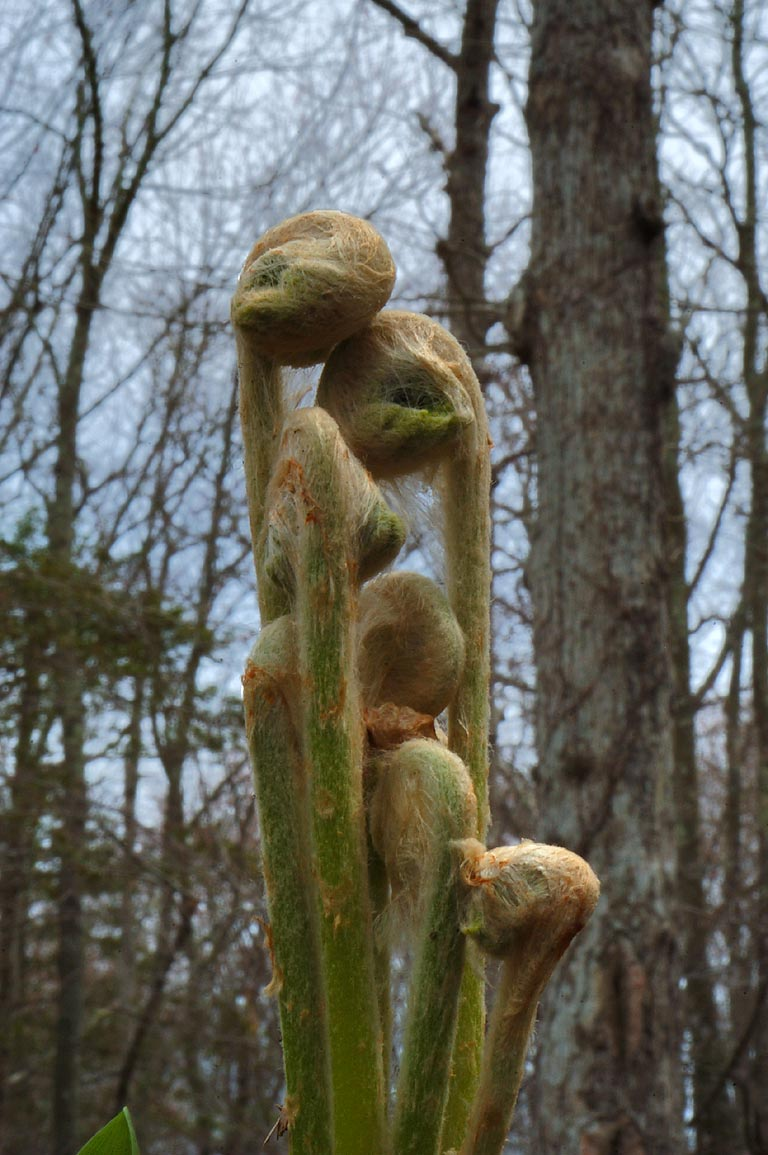 Fiddleheads in Wilbour Woods park. Little Compton, Rhode Island