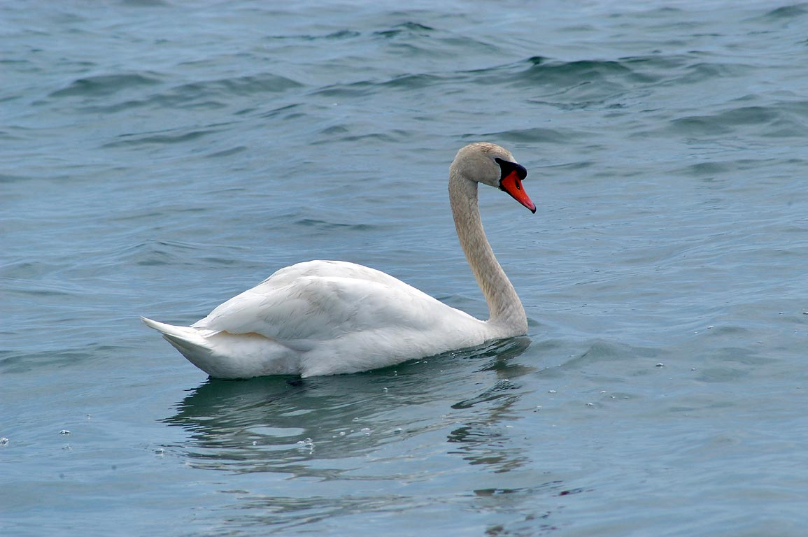 A swan in Atlantic Ocean near the end of River Rd. in Acoaxet. Wesport, Massachusetts