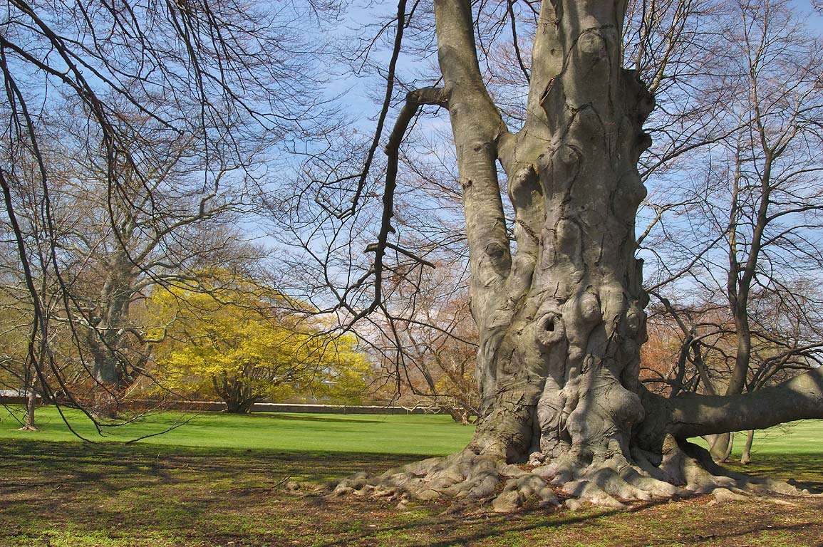 A beech tree in a garden of Chateau Sur Mer on Bellevue Ave.. Newport, Rhode Island