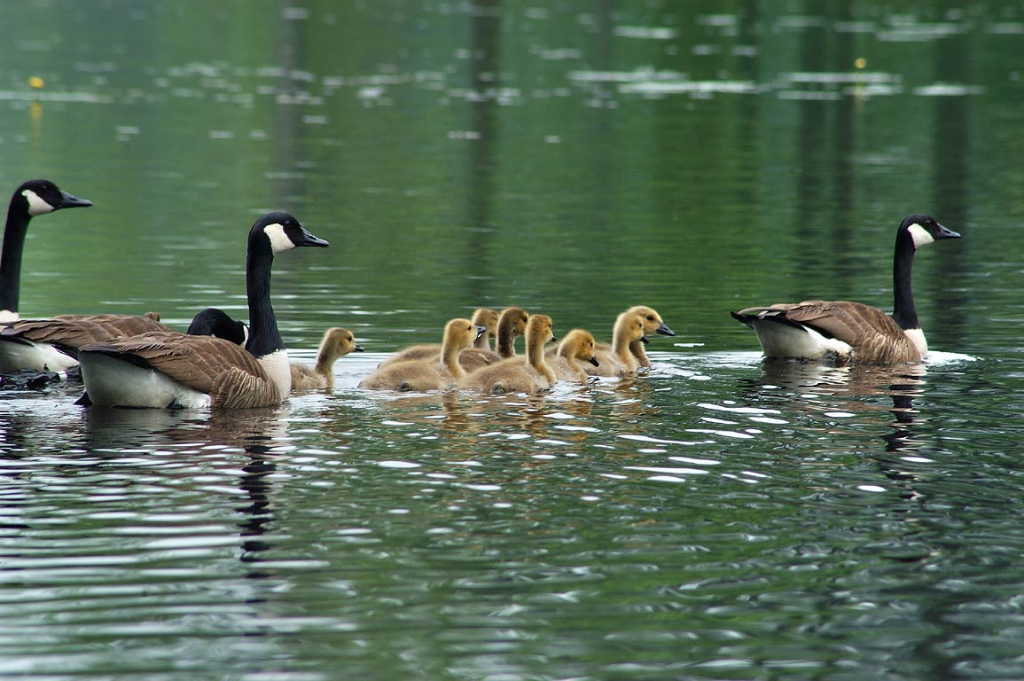 Canada geese in Browning Mill Pond Recreation Area. Exeter, Rhode Island