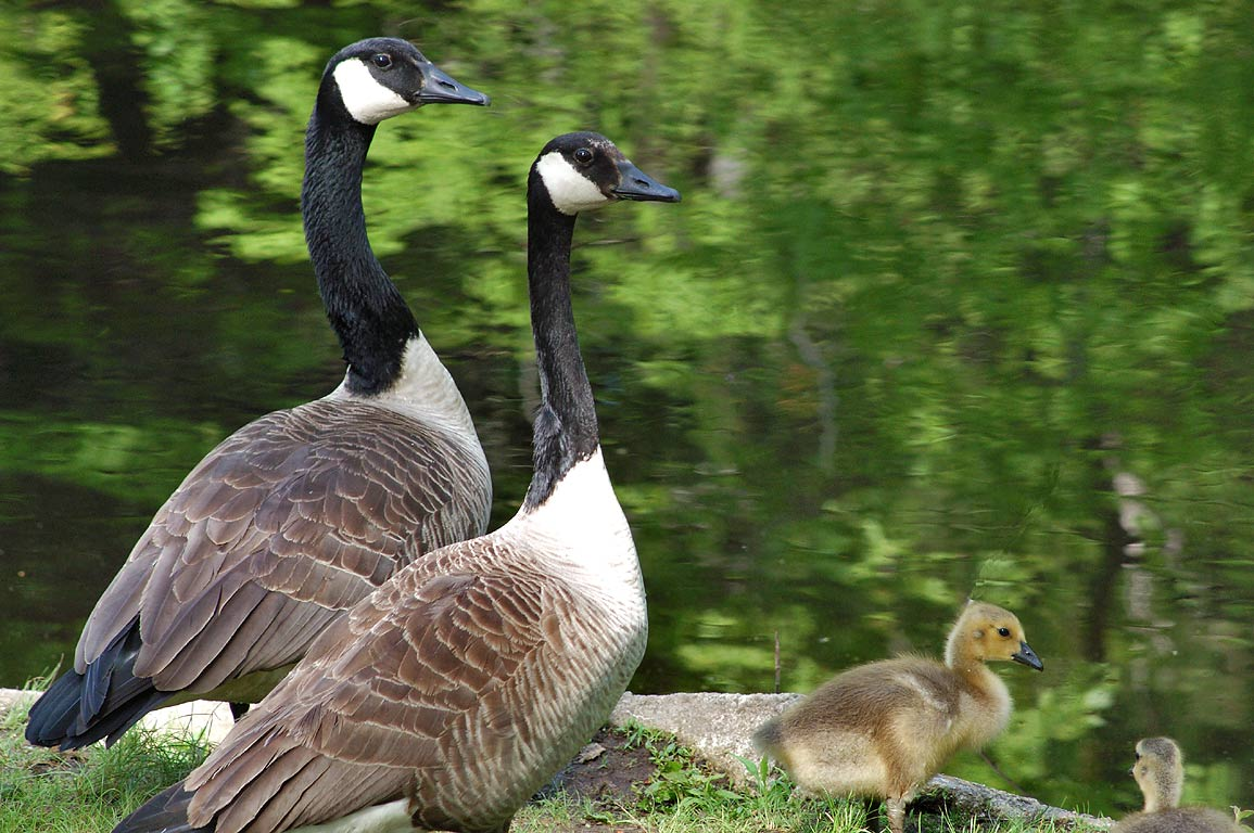 Canada geese with goslings near Barberville Dam of Wood River. Exeter, Rhode Island