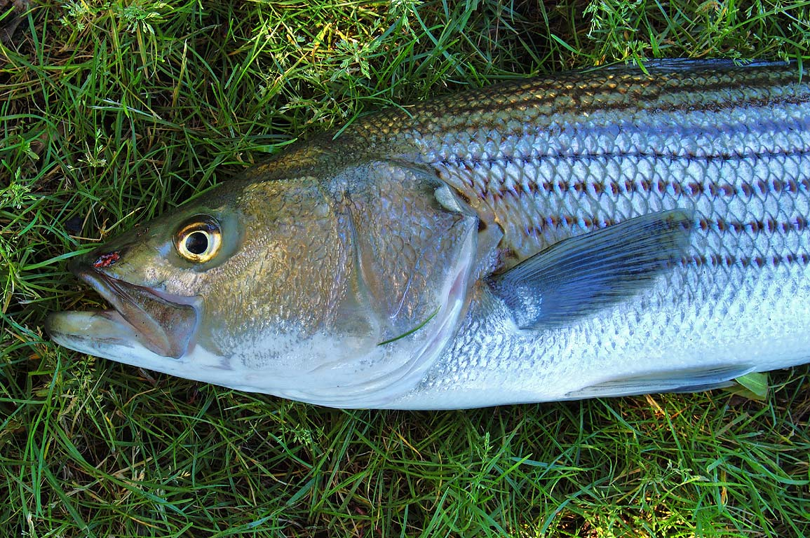 Striped bass fish caught in Charles River and...Cambridge Pkwy. Boston, Massachusetts