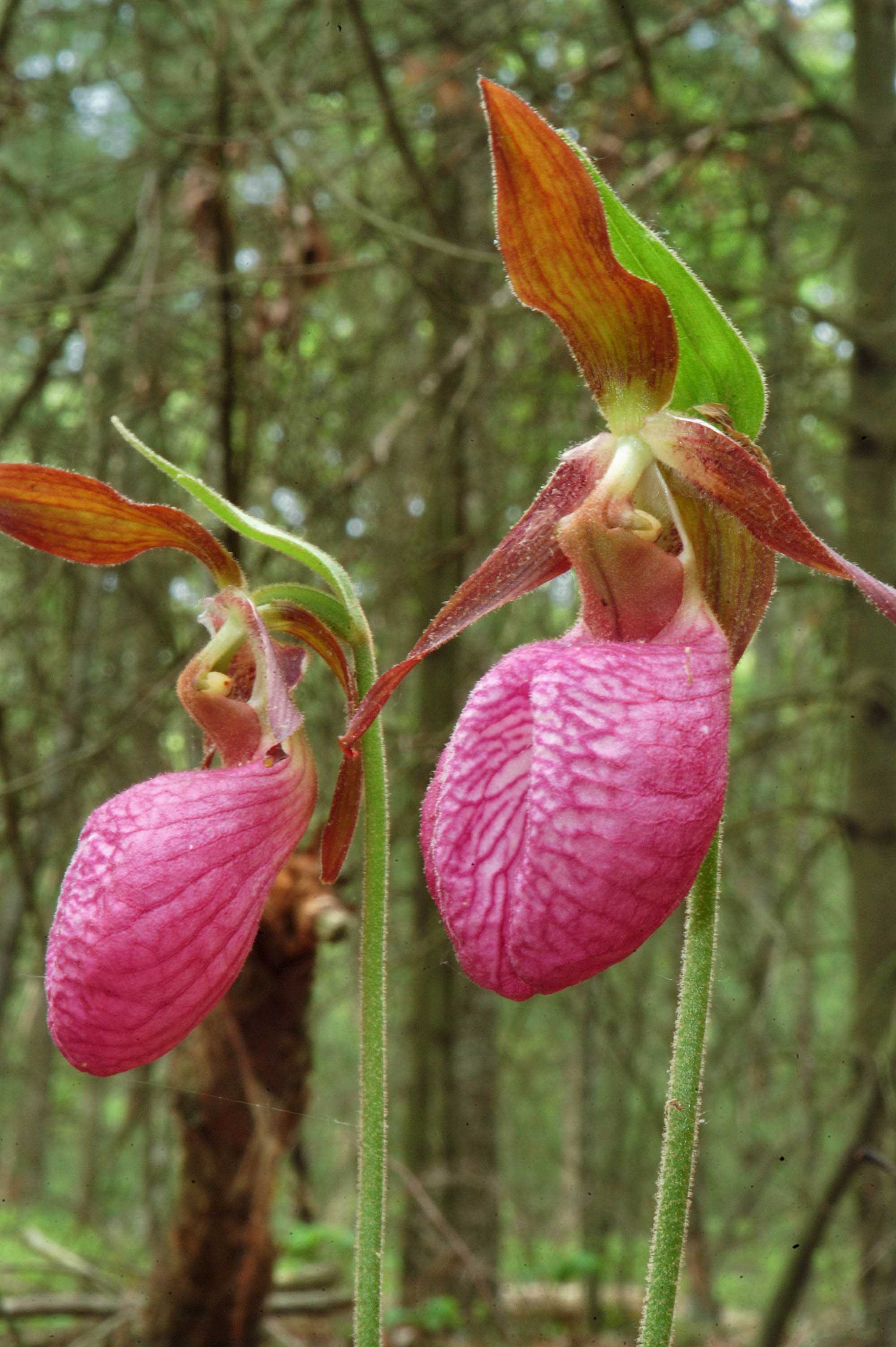 Photo 397 05 Pink Lady Slipper Flowers In Massasoit State Park