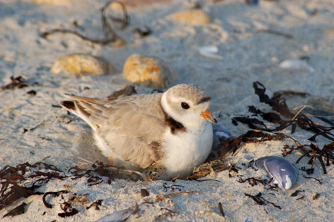 A nesting piping plover with eggs in Demarest-Lloyd State Park. Dartmouth, Massachusetts