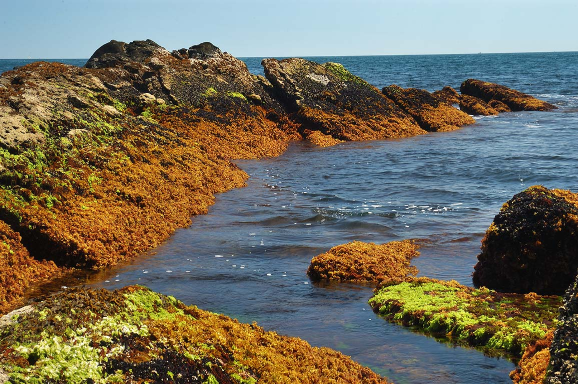 Seaweeds on Sachuest Point. Newport, Rhode Island