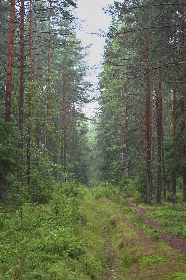 A cutting in a forest near Lembolovo, 30 miles north from St.Petersburg. Russia