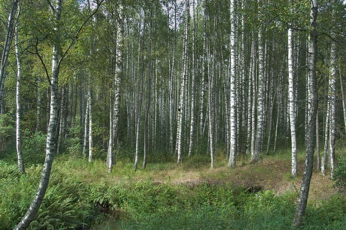 A birch grove near Prytkiy Creek between Orekhovo...miles north from St.Petersburg. Russia