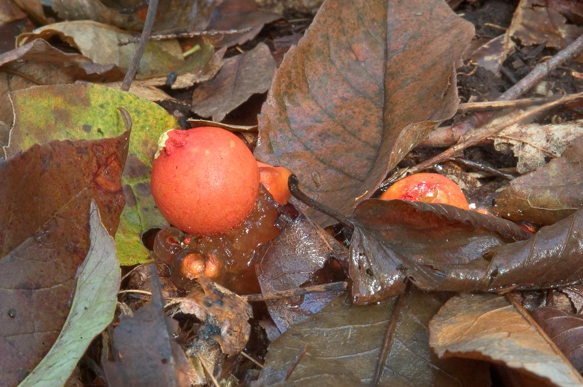 Tomato and Aspic (Calostoma cinnabarina...State Park. East Haddam, Connecticut