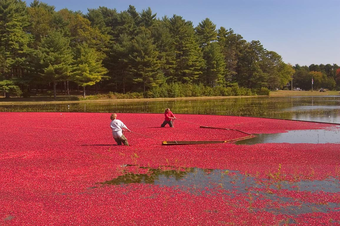 Cranberry harvesting near County Rd. and close to...Highway). West Wareham, Massachusetts