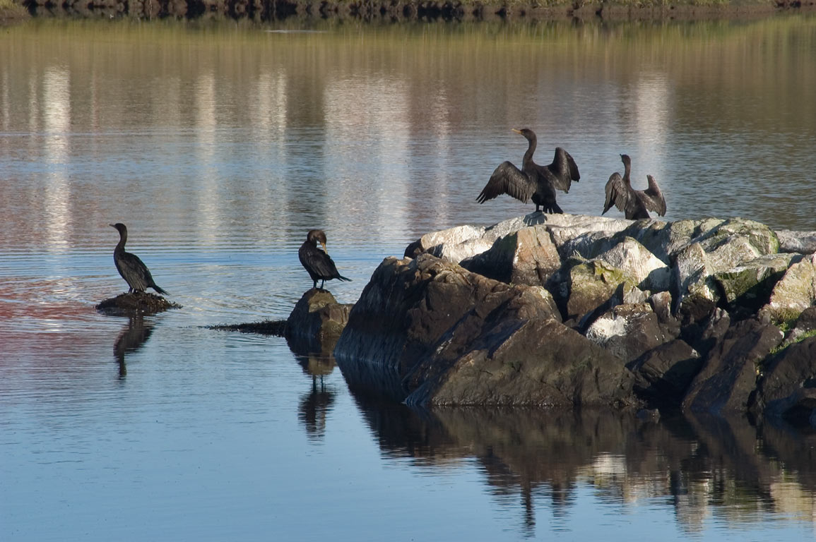 Cormorants drying wings in Gooseneck Cove at...from Ocean Dr.. Newport, Rhode Island
