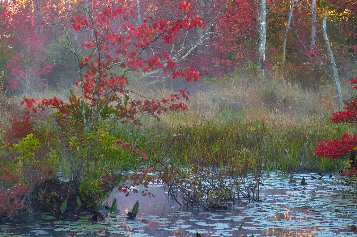 Red maples in a swamp in Simmons Mill Pond...Little Compton, Rhode Island