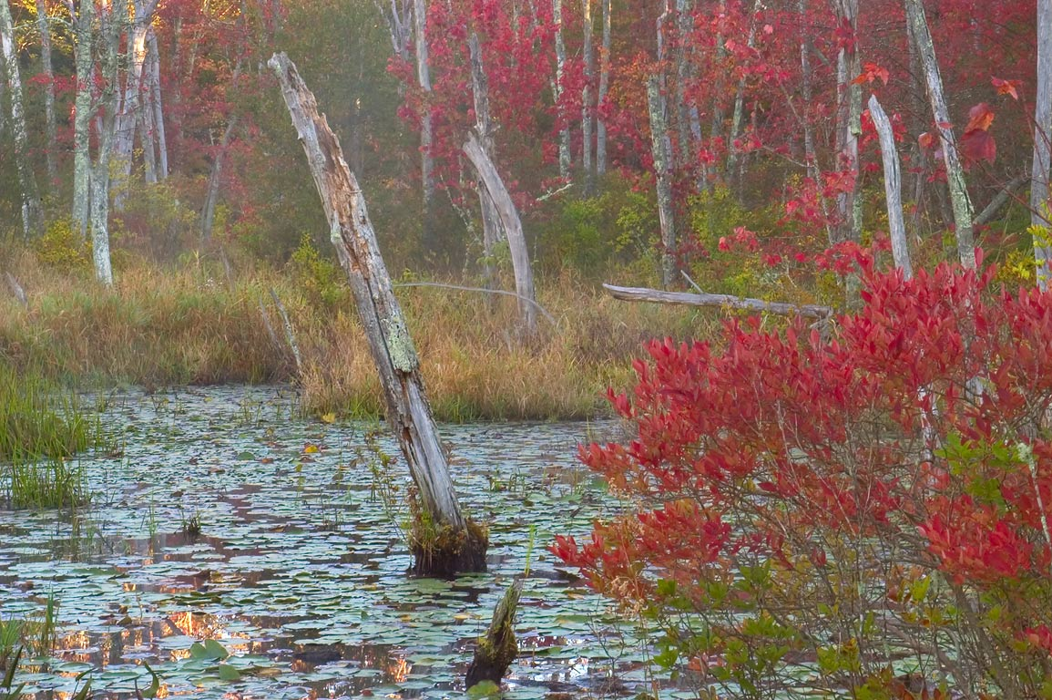 Red maple swamp in Simmons Mill Pond Management...Little Compton, Rhode Island