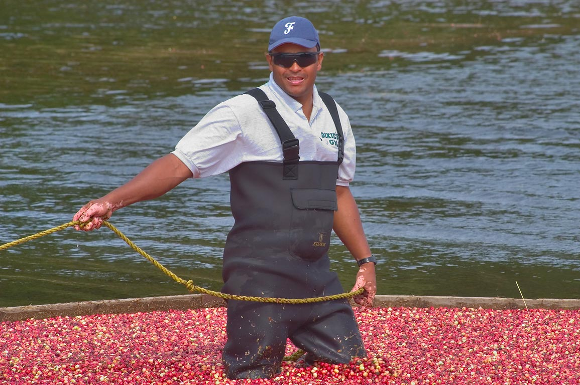 Working on pumping of cranberry at one of...Village. Wareham, Massachusetts