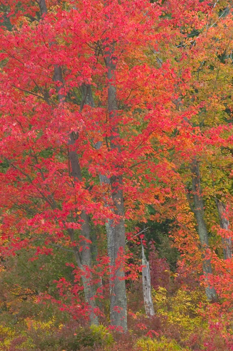 Fall colors of a red maple in a swamp near west...State Park. Providence, Rhode Island