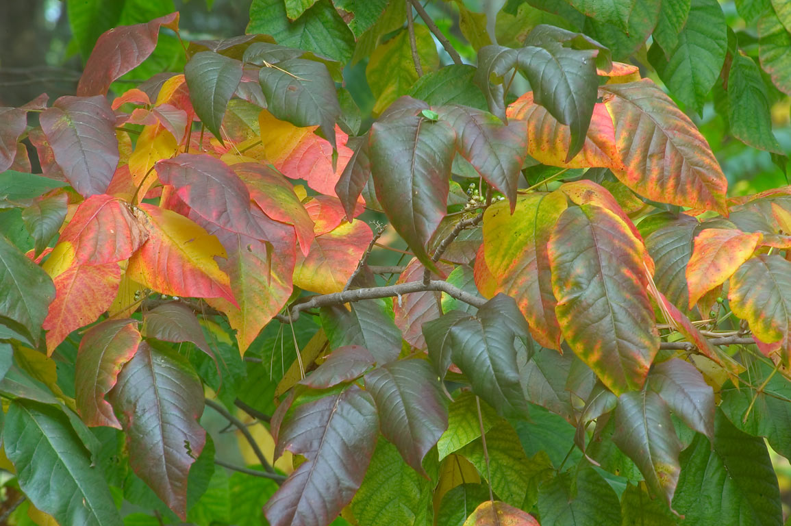 Fall colors of poison ivy in south-western part...State Park. Providence, Rhode Island