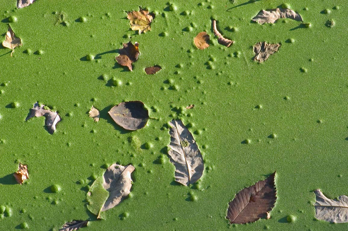 Leaves on duckweed in the canal in Blackstone...State Park. Uxbridge, Massachusetts