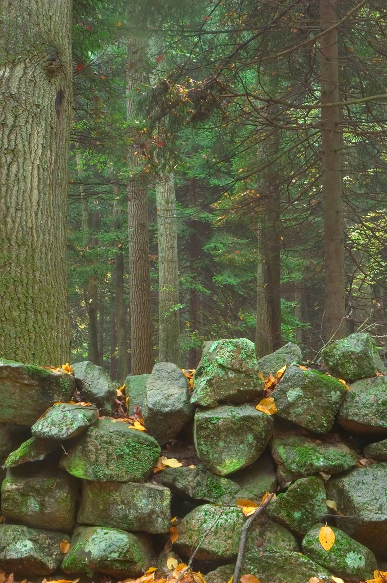 Abandoned stone wall and a fir forest near...in northern Fall River. Massachusetts