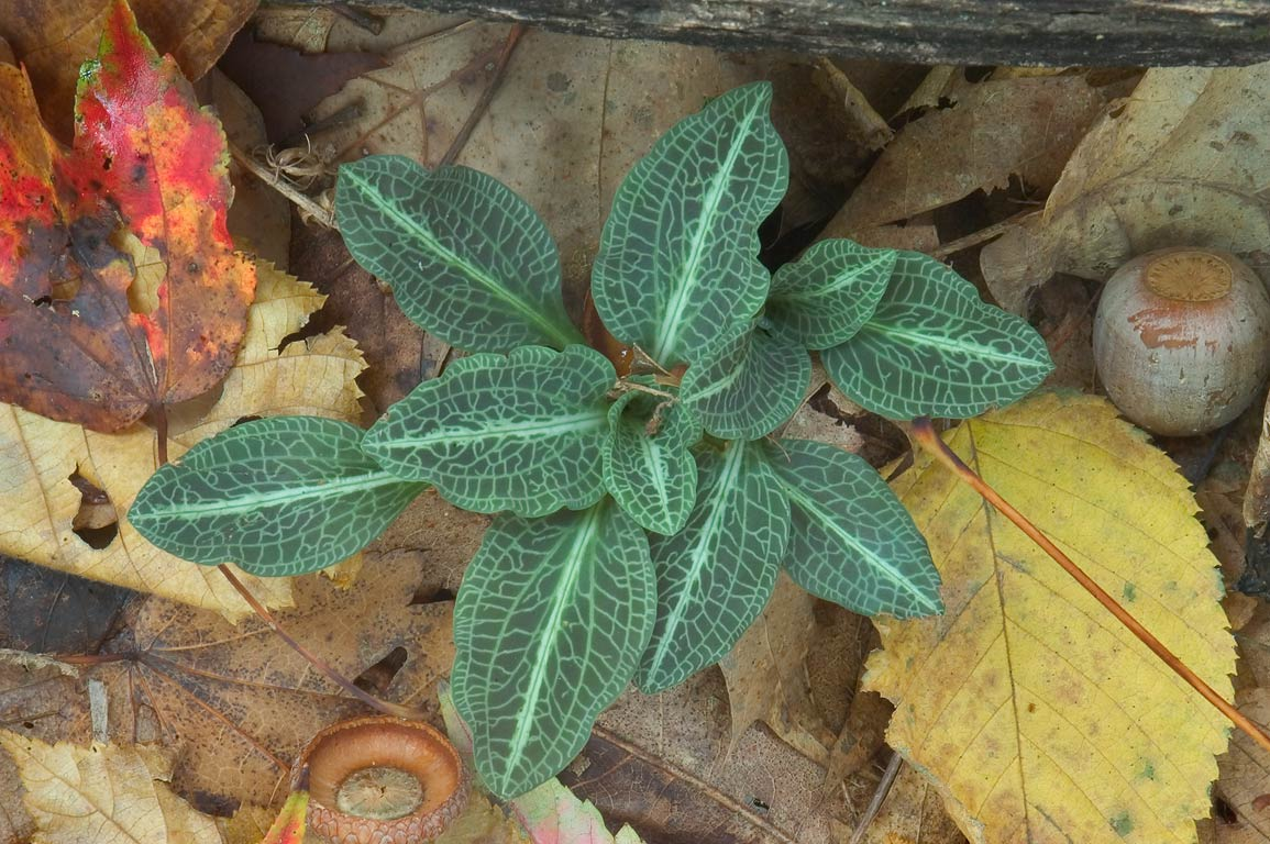 Goodyera pubescens plant, basal leaves, near Goat...State Park. Uxbridge, Massachusetts