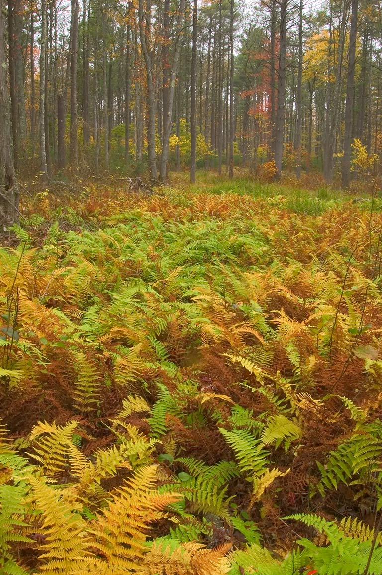 Ferns near Massasoit Trail in Freetown/Fall River State Forest. Massachusetts