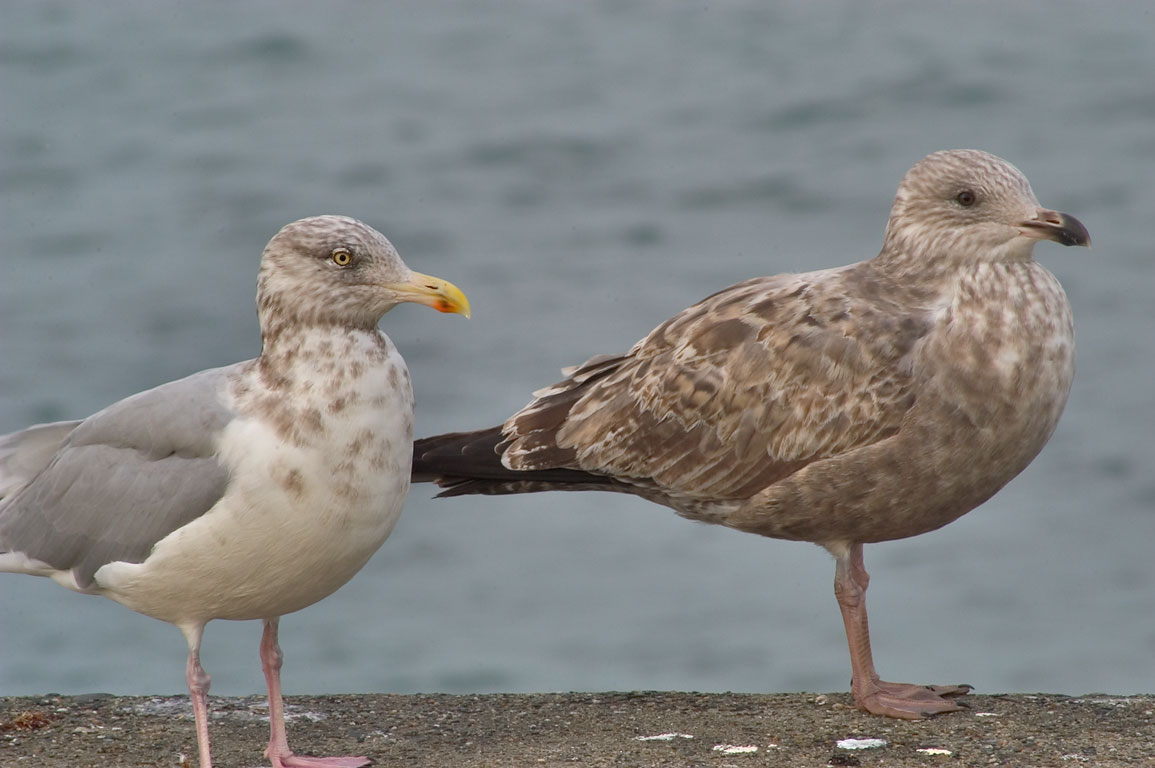 Young gulls in Brenton Point. Newport, Rhode Island
