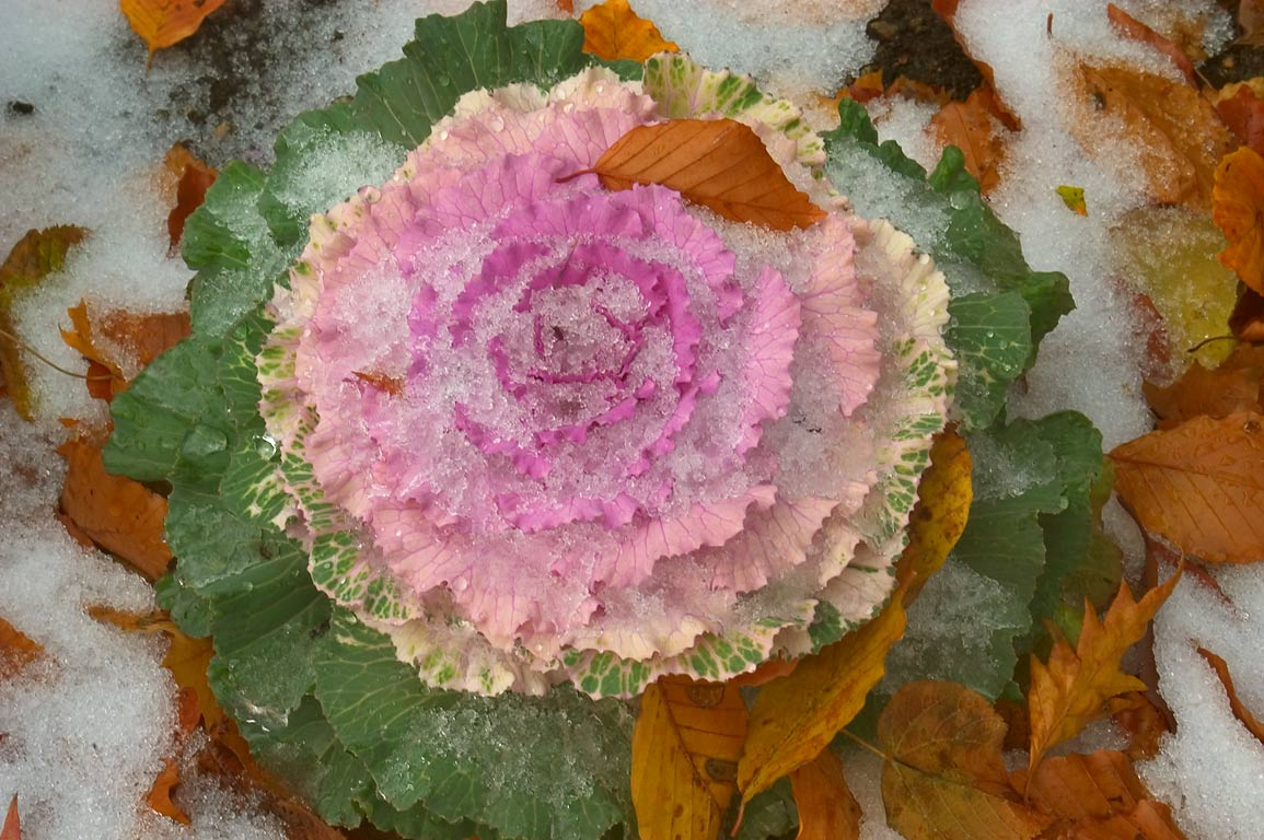 First snow and fall leaves on ornamental cabbage...Bellevue Ave.. Newport, Rhode Island
