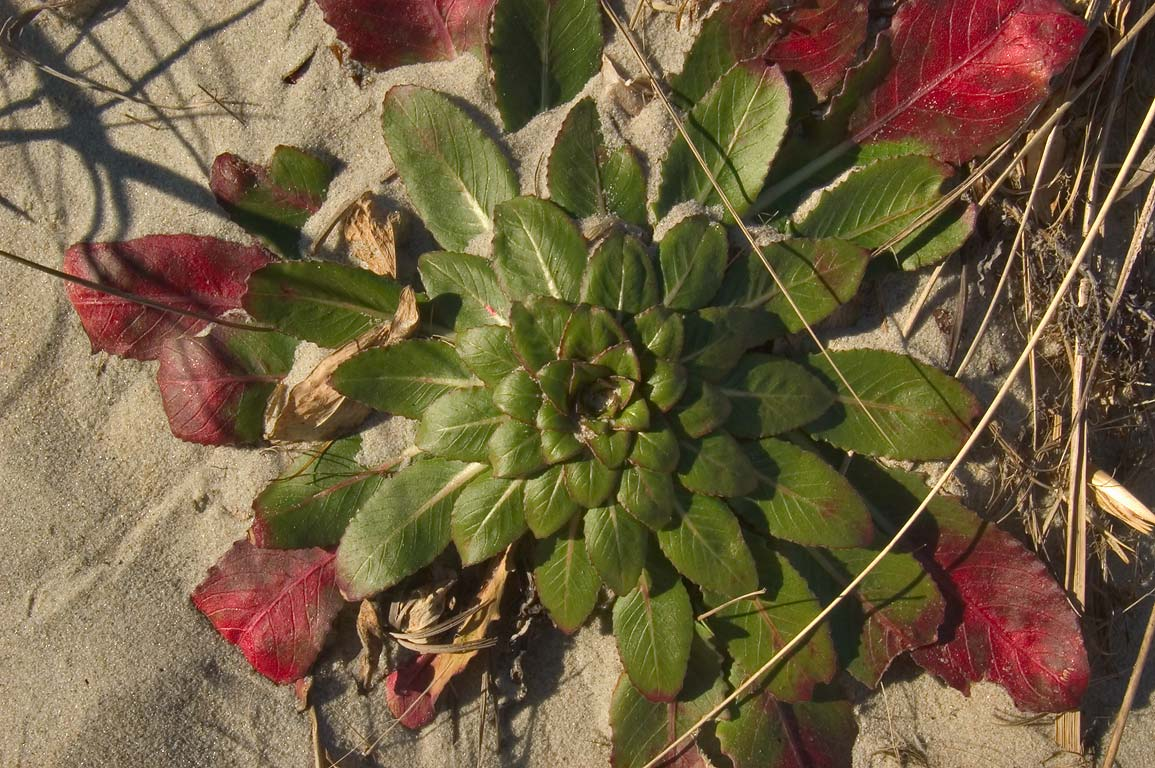 A winter rosette of leaves of a plant in dunes of Horseneck Beach. Westport, Massachusetts