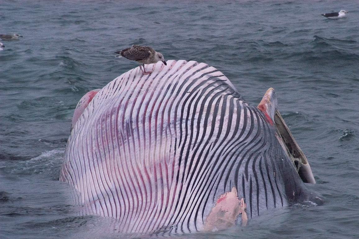 A gull on grooved underbelly of a finback whale...Brenton Point. Newport, Rhode Island