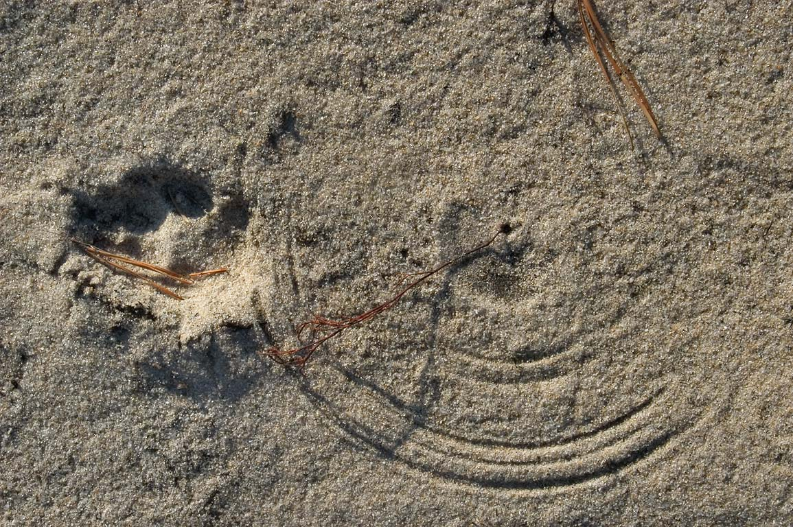 "An animal track and common dry ""dial"" grass in...Cape Cod. Provincetown, Massachusetts"