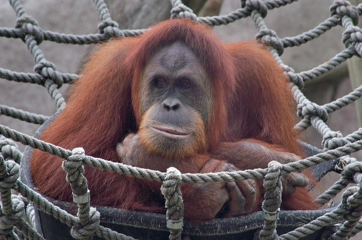 Orangutan monkey in Audubon Zoological Gardens. New Orleans, Louisiana
