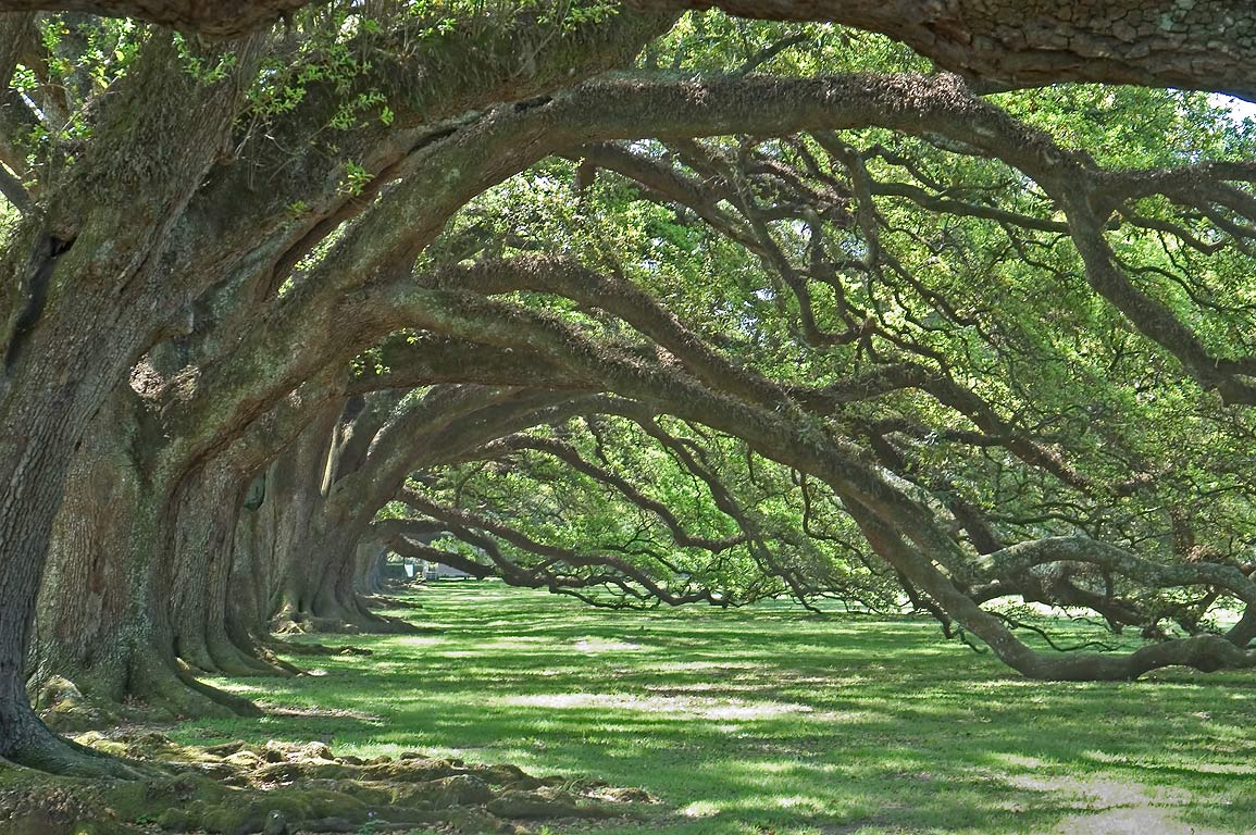 Side branches of oaks, view from a gate, in Oak...West from New Orleans, Louisiana