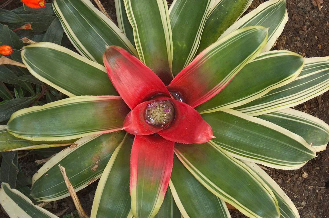 Bromelia plant in conservatory of New Orleans Botanical Garden. Louisiana