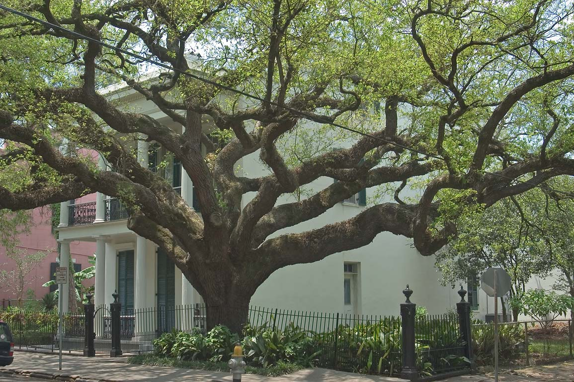 Live oak at a corner of Coliseum and Polymnia...District. New Orleans, Louisiana