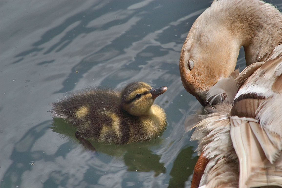 A duckling in Audubon Zoo. New Orleans, Louisiana