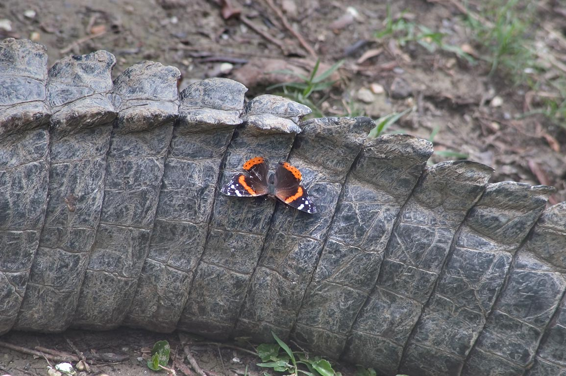 Red Admiral butterfly on a tail of an alligator in Audubon Zoo. New Orleans, Louisiana