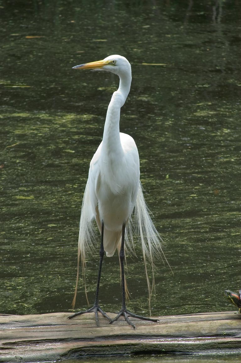 Egret in a swamp in Audubon Zoo. New Orleans, Louisiana