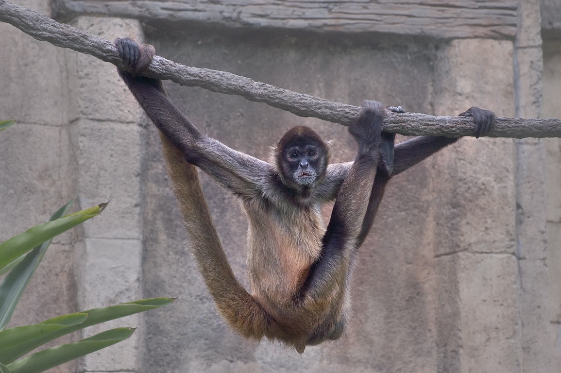 A hanging monkey in Audubon Zoo. New Orleans, Louisiana