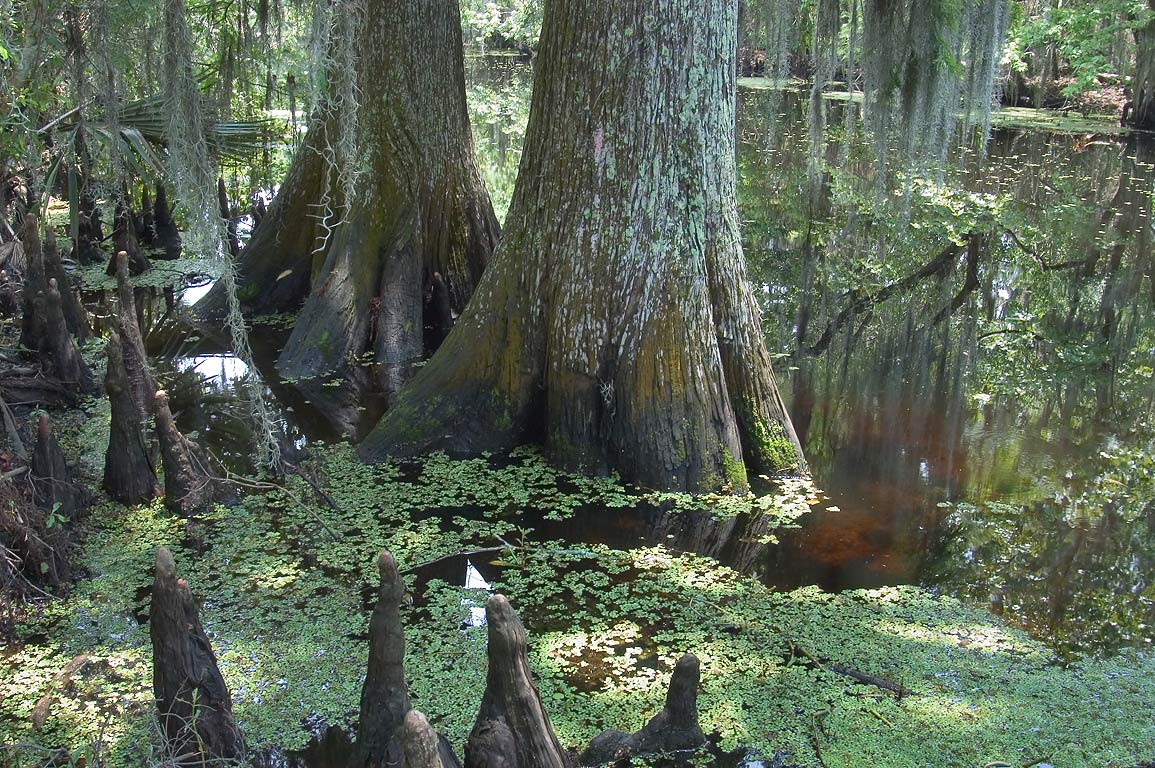 Cypress trees near Marsh overlook trail in Barataria preserve. New Orleans, Louisiana