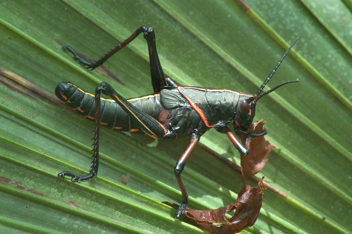 Black grasshopper with red trim (Devil's Horse...preserve. New Orleans, Louisiana