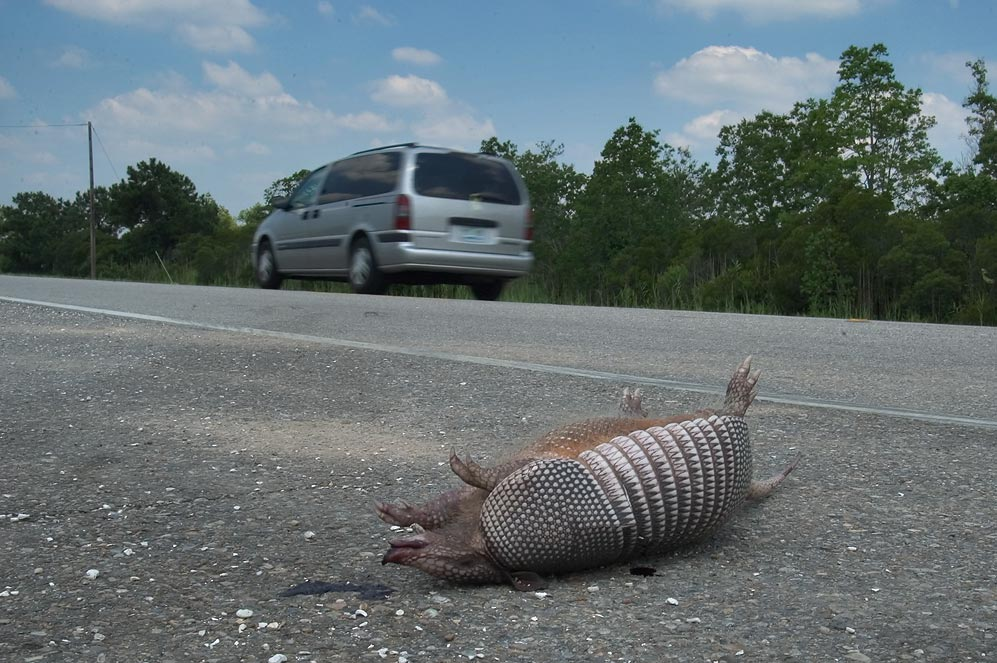 Armadillo killed by a car on a shoulder of Rd. 90. New Orleans, Louisiana