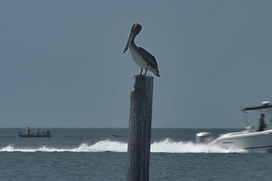 A brown pelican and Gulf of Mexico near Biloxi. Mississippi