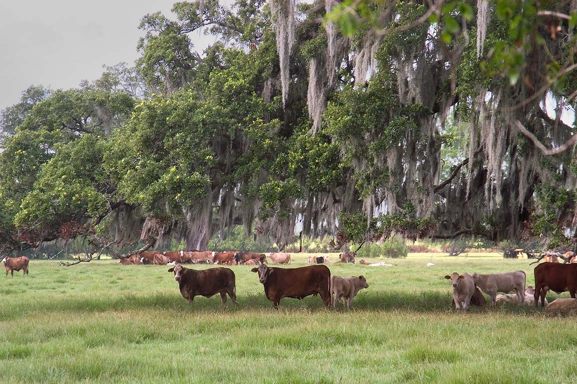 A pasture and oaks near Rd. 1 between Labadieville and Napoleonville. Louisiana