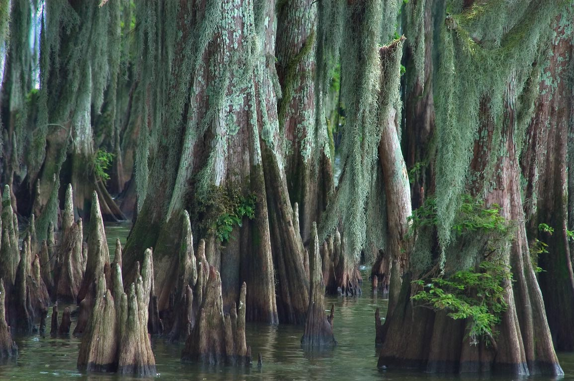 Cypresses in a swamp in Brownell Memorial Park. Morgan City, Louisiana